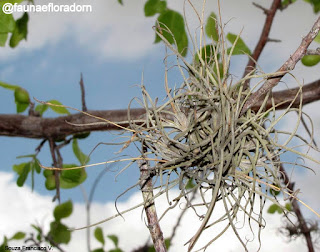 Cravo-do-mato Tillandsia recurvata (L.) L. , uma bromélia que pode ser encontrada na rede elétrica das cidades.