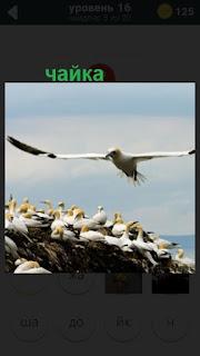чайка в полете, а другие сидят на камнях берега