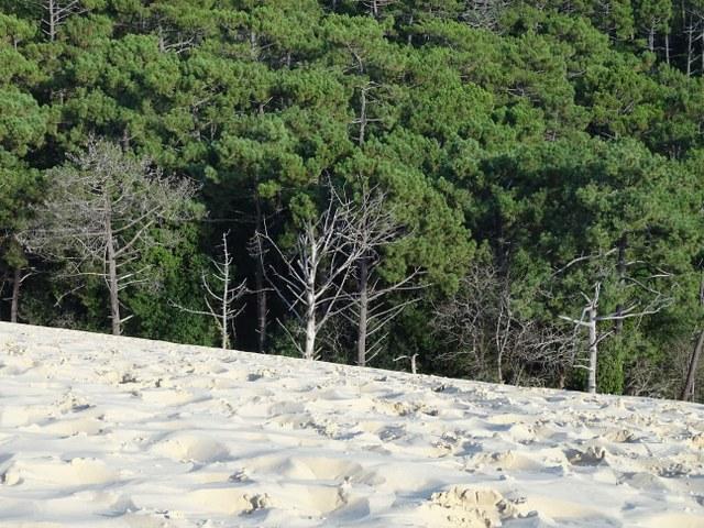bosque duna pilat francia arboles muertos pinar