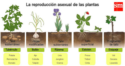 Reproduccion asexual de las plantas aula365