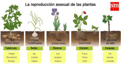 Reproduccion asexual de geranios flor
