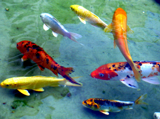 Gambar dan jenis ikan koi