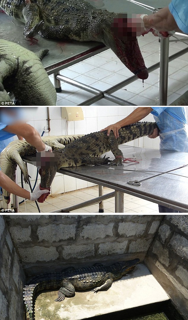 WATCH HERE: Footage Shows Crocodiles Being Skinned Alive For Handbags!