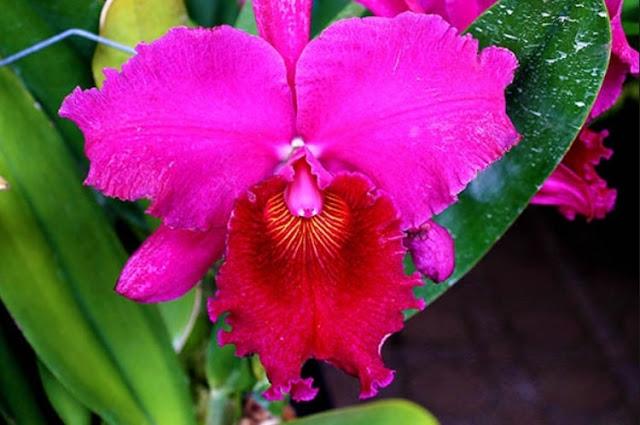 Gambar Bunga Anggrek Cattleya