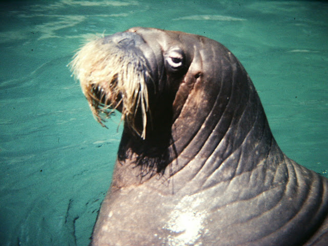 Walrus at Brookfield Zoo