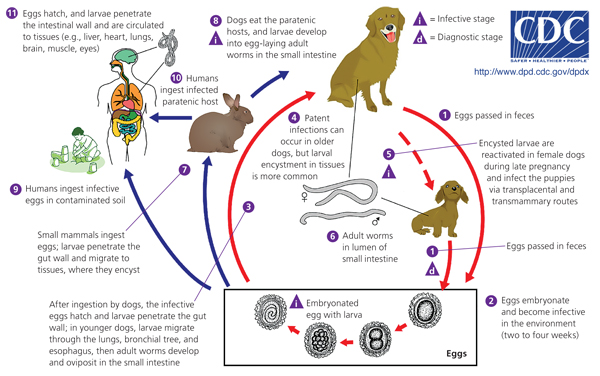 Filarial Worms Life Cycle Lecture Notes in Medic...