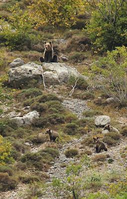 Hembra de oso pardo vigilando a sus oseznos