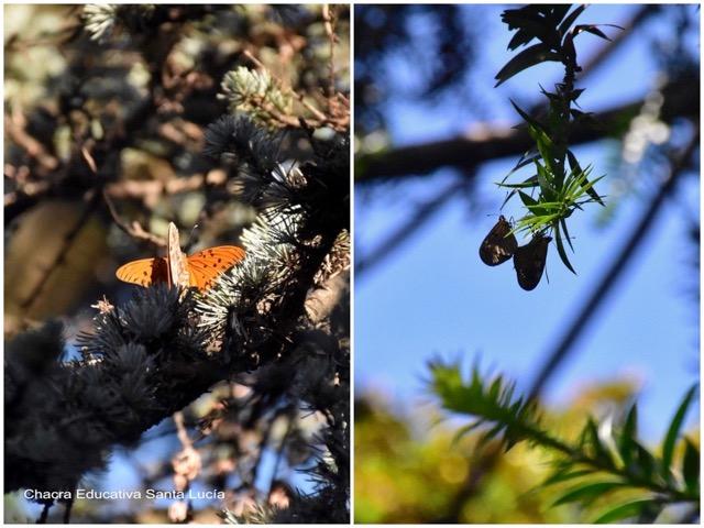 Apareamiento de mariposa espejito - Marcos L para Chacra Educativa St. Lucía