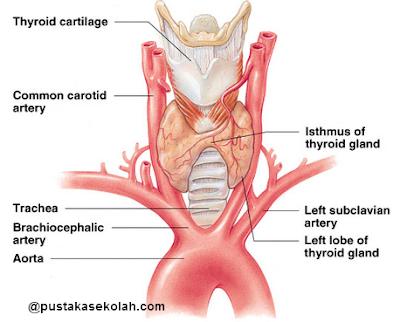 lokasi kelenjar tiroid
