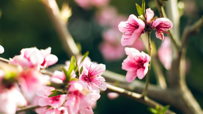 Wallpaper: Flowers Tree