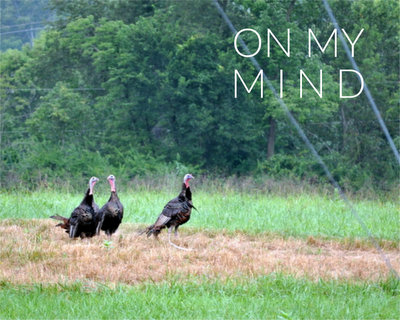 Wild Turkeys ♥ KitchenParade.com