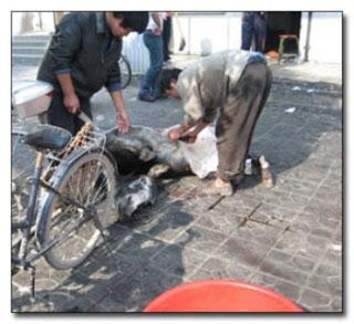 keledai dikuliti