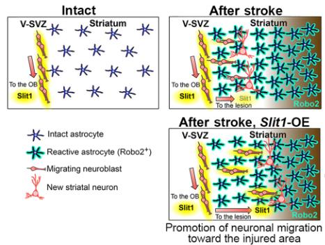 図:slit Robo 神経芽細胞の移動