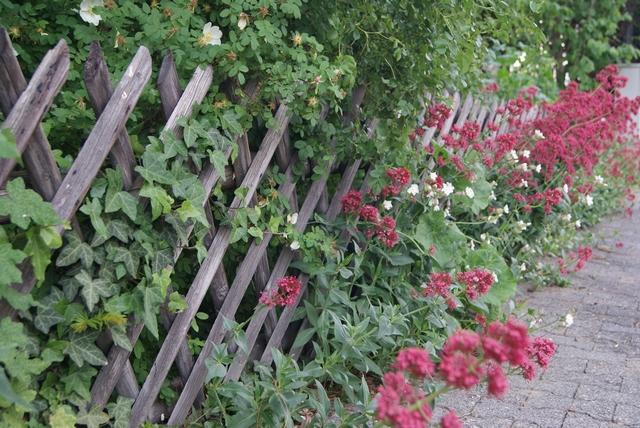 Rote Spornblume blüht am Holzzaun