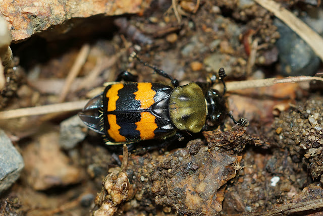Current Events On The Asian Beetle In Maine 34