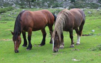 Wallpaper: Two horses grazing