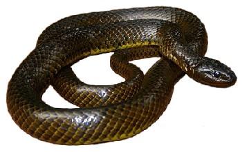 Cobra-d'Água (Liophis miliaris)