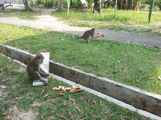 monyet liar pulau galang