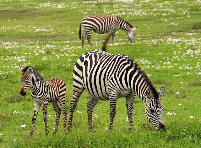 Fakta-Fakta Zebra yang Mengagumkan dan Foto-Foto Zebra