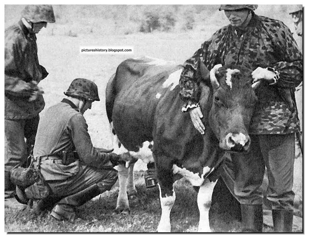 Waffen SS soldier milking cow Netherlands 1940