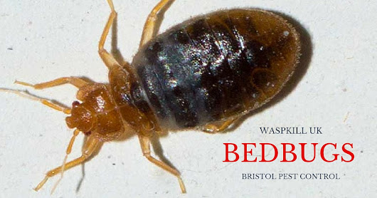 How Long Can Bed Bugs Live?