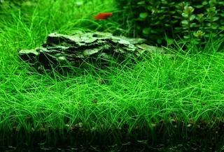 cỏ ngưu mao chiên xanh mướt khi được cung cấp đủ ánh sáng, dinh dưỡng và CO2