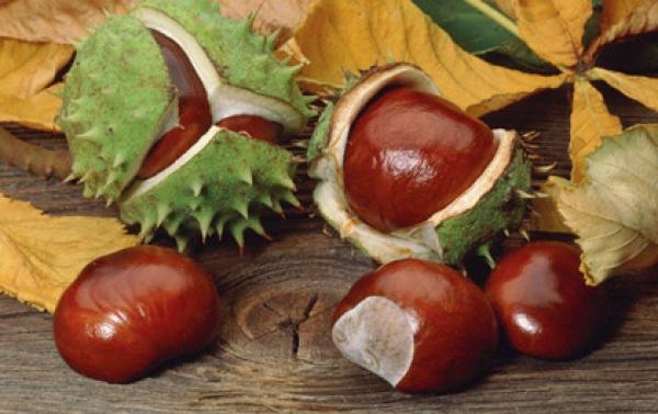 Gyógynövényekkel a visszér ellen A gesztenye segít a visszér ellen