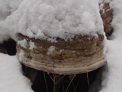 grzyby 2016, grzyby zimowe, grzyby w grudniu, uszak bzowy, gmatwica chropowata, hubiak pospolity