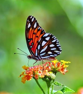 Você saberia distinguir entre uma borboleta e uma mariposa ?
