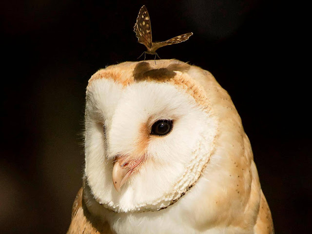 Photographer captures astonishing moment butterfly lands on barn owl's head