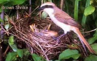 Burung Cendet - Penanganan atau Perlakuan Indukan Burung Cendet Dalam Penangkaran Burung Cendet - Penangkaran Burung Cendet