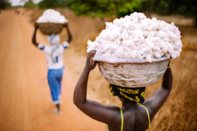 Picking Genetically Modified Cotton by Hand in Africa