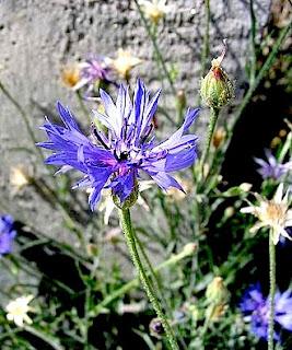 https://fr.wikipedia.org/wiki/Centaurea_cyanus