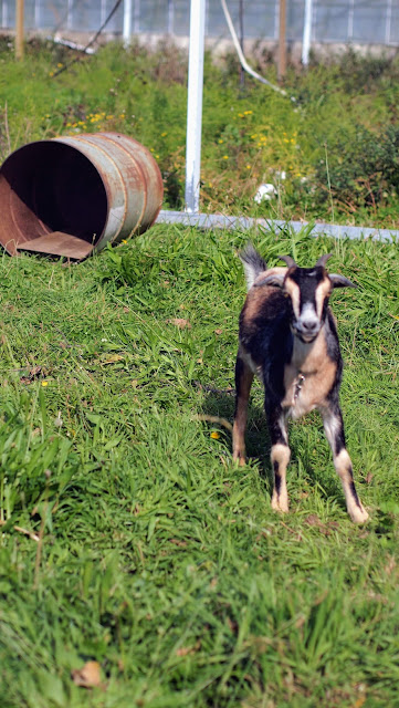Goat tethered to a barrel in Renwick New Zealand near the Blenheim wineries