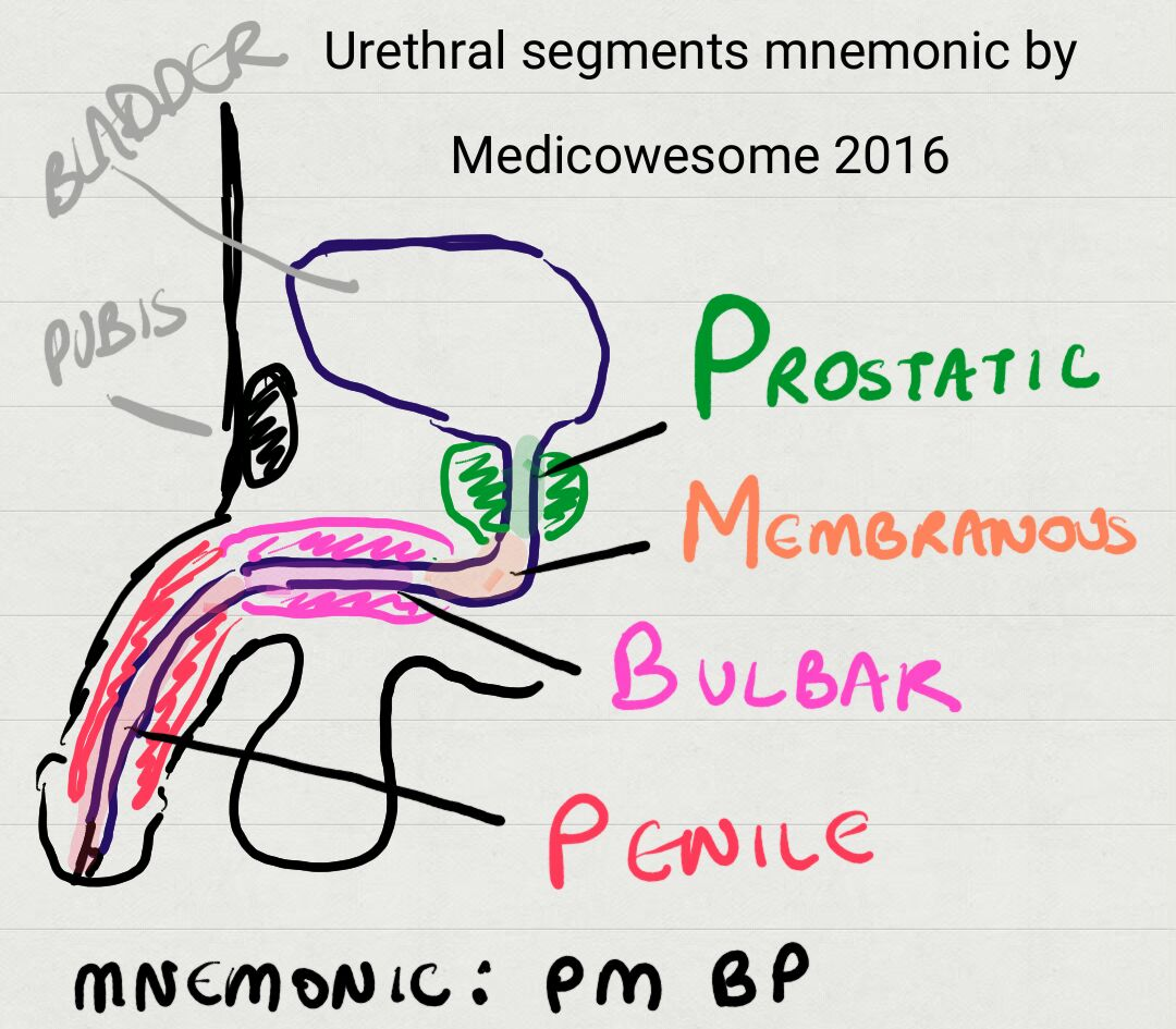 Medicowesome Step 2 Ck Anterior And Posterior Urethral Injuries