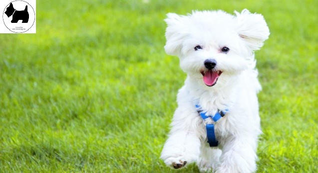 Cutest Dog Breeds, Best Dog, Maltese Dog puppies