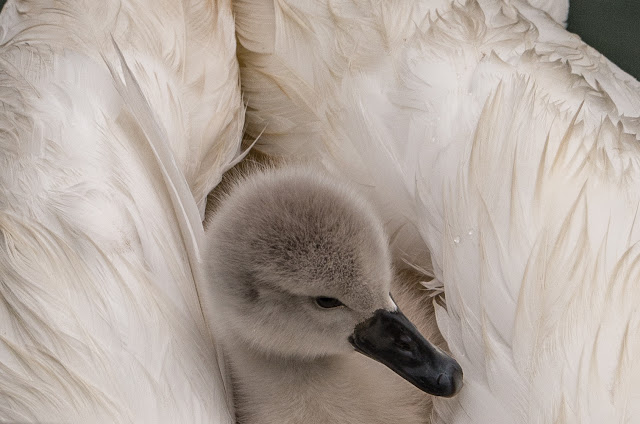 Photo of one little cygnet snuggling down among mum's feathers