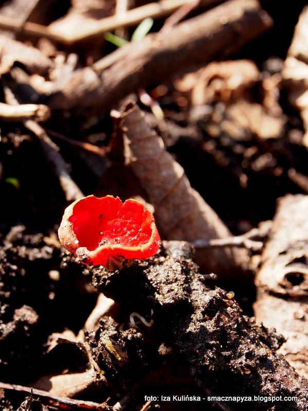czareczka, czerwone grzybki, grzyby wiosenne, wiosna