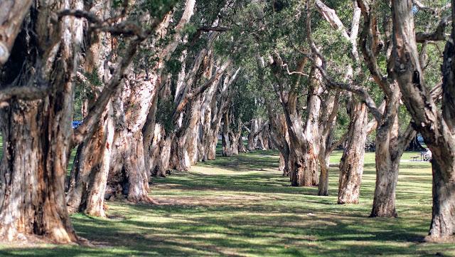 Centennial Park Sydney: Paperbark Grove