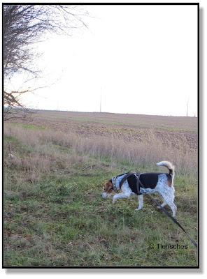ein Beagle schleicht sich an