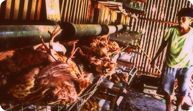 Dinas Kelautan, Perikanan, dan Peternakan Kabupaten Kulon Progo Teliti Unggas Mati Mendadak