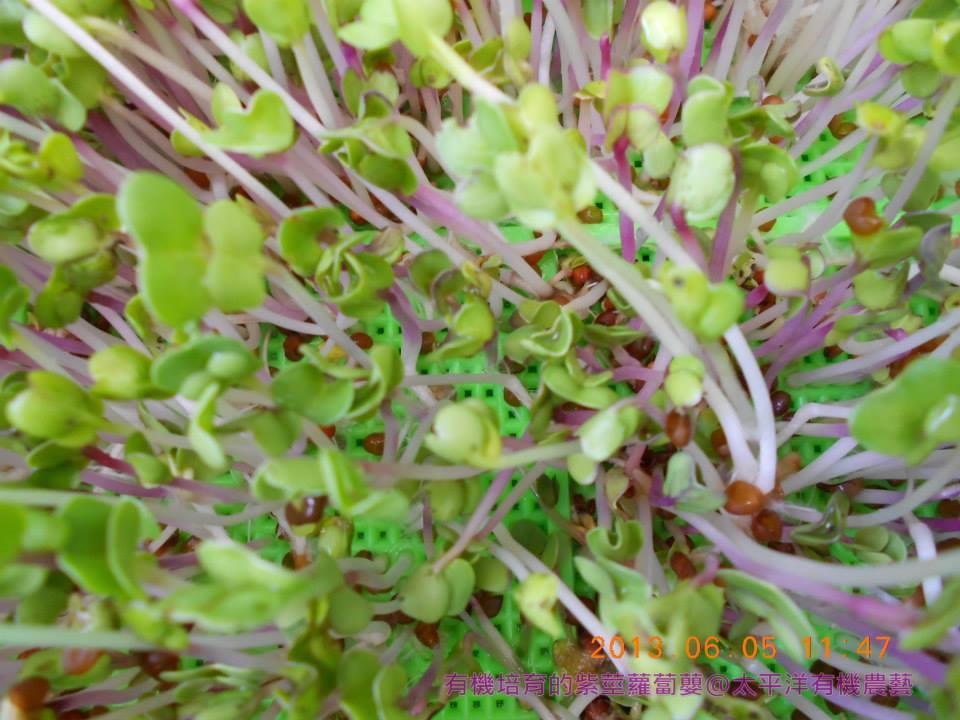 有機紫莖蘿蔔嬰芽菜苗