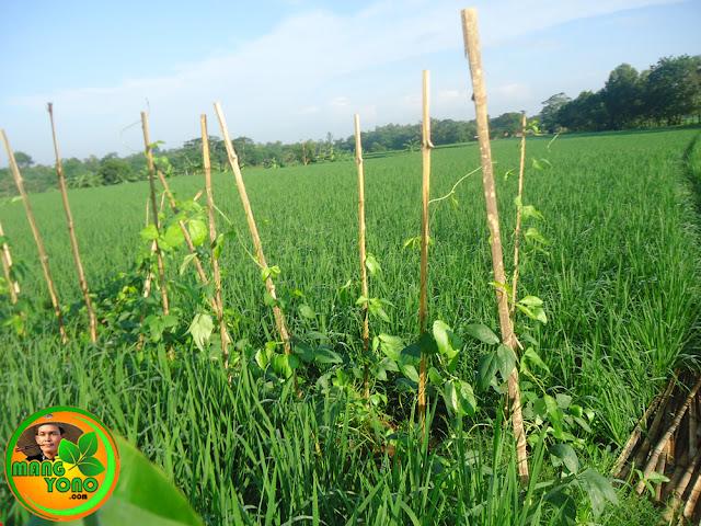 Foto: Tanaman kacang panjang di pematang sawah.