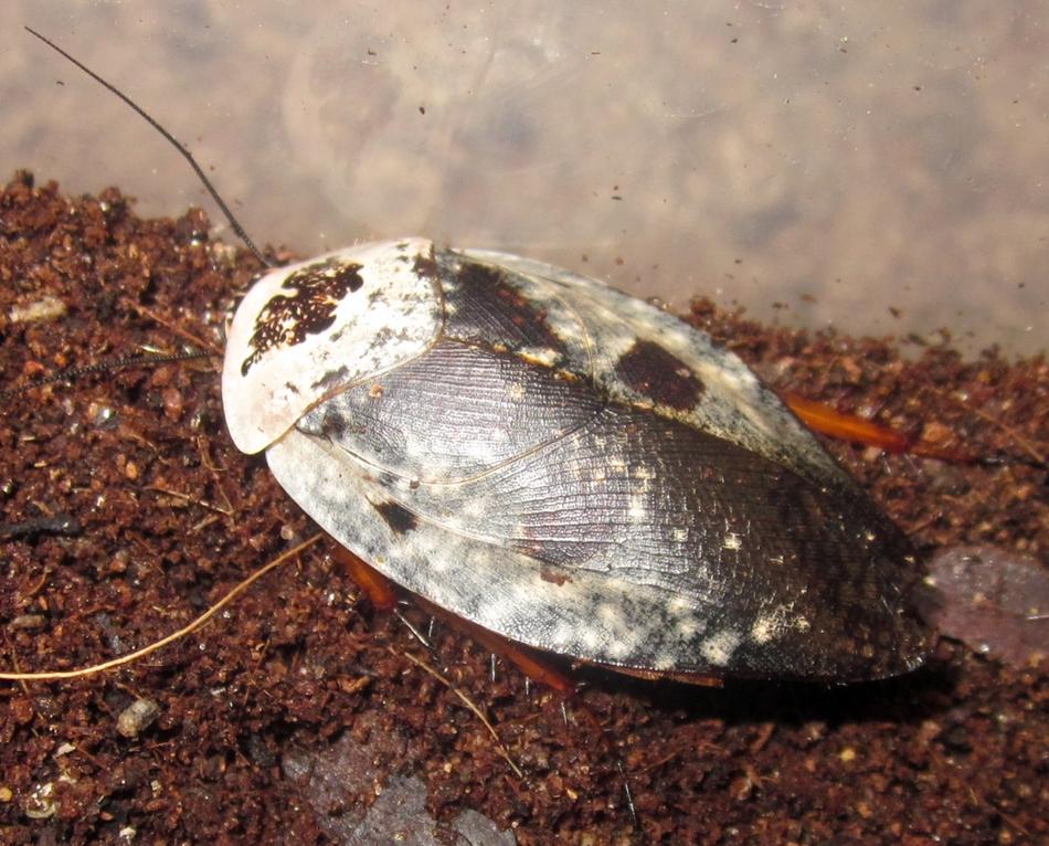 Hisserdude's Roaches - Page 2 G.cafforum%25233