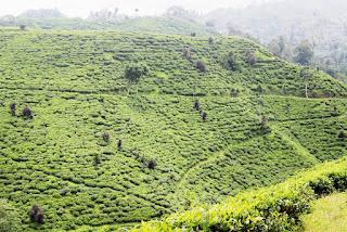 wisata kebun teh jember