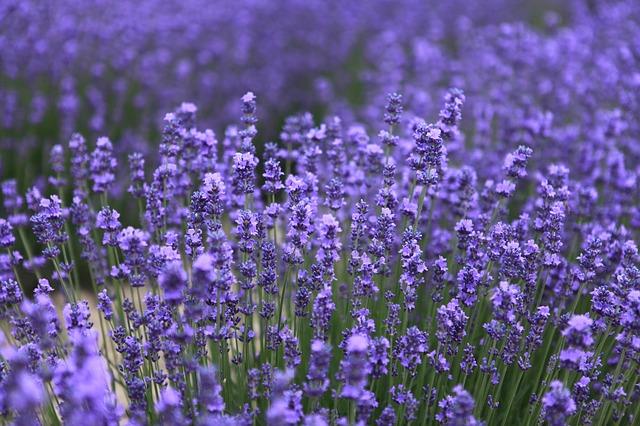Lavender field.jpeg