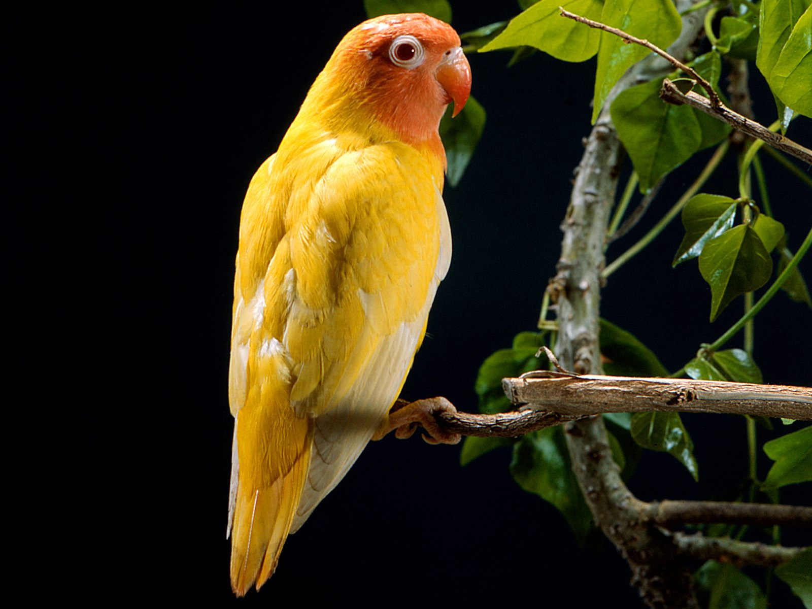 Wallpapers Love Birds: See Animal And Birds: Love Bird Wallpaper