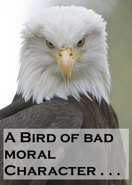 Bald Eagle is not pleased pleased, being dissed by Ben Franklin.  A Bird of bad moral Character. A Republic, If and Other stories of Past Leaders Responding to Now. marchmatron.com