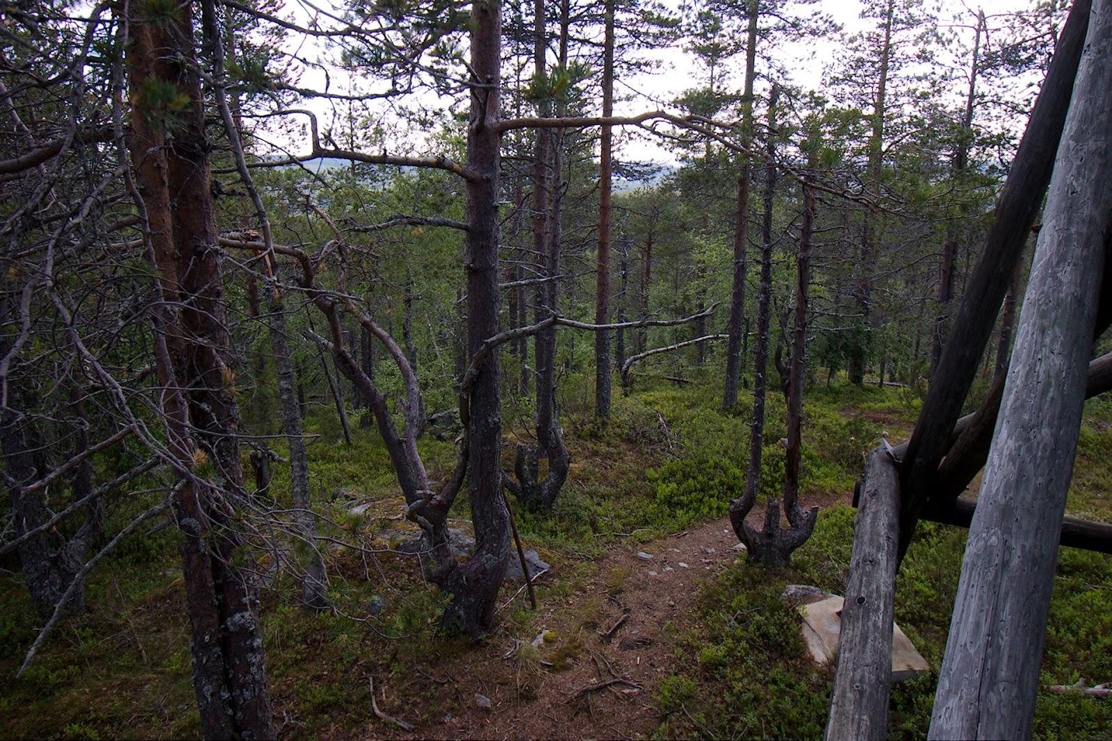 Väkkyröitä puita luontotornin alla