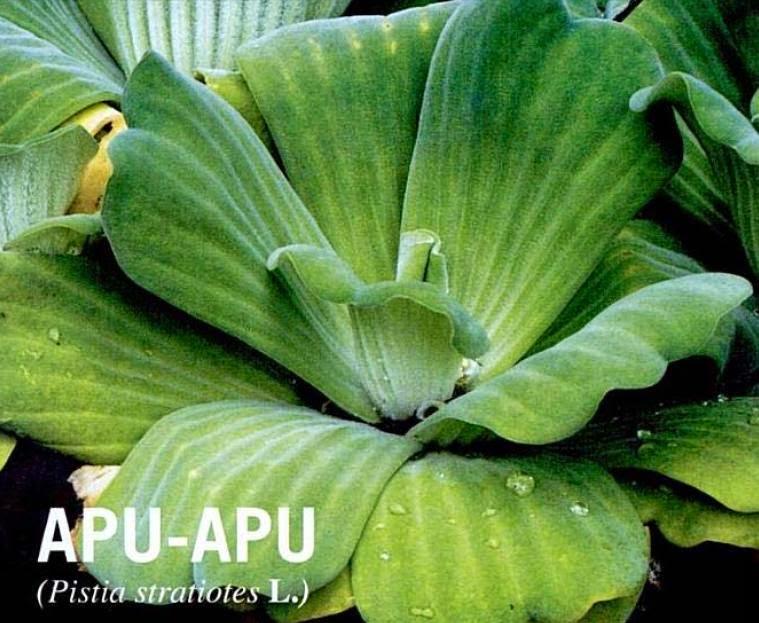 tanaman Apu-apu